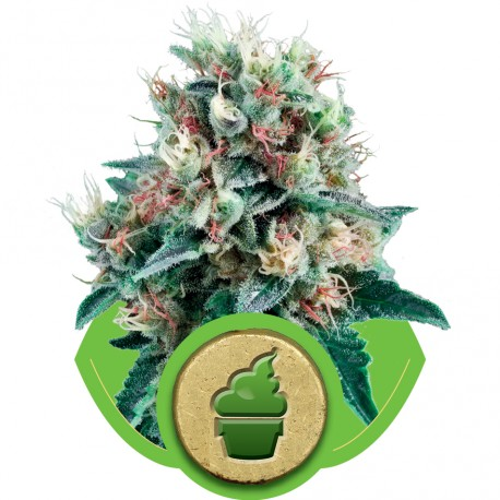 buy cannabis seeds Creamatic