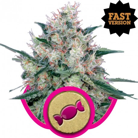 buy cannabis seeds Royal Caramel Fast V