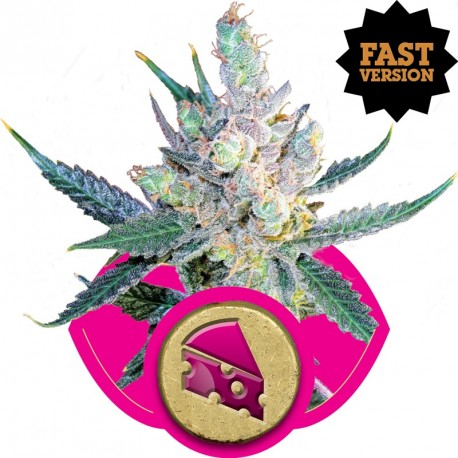 buy cannabis seeds Royal Cheese Fast V