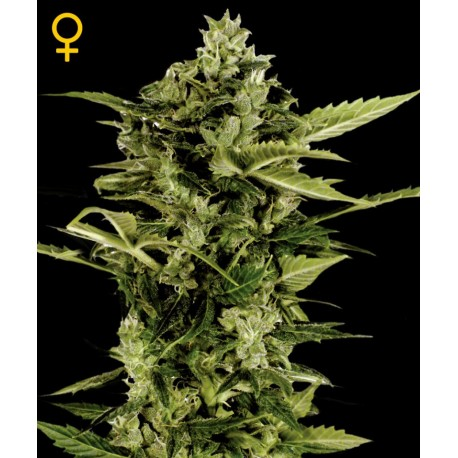 buy cannabis seeds Bomb Auto