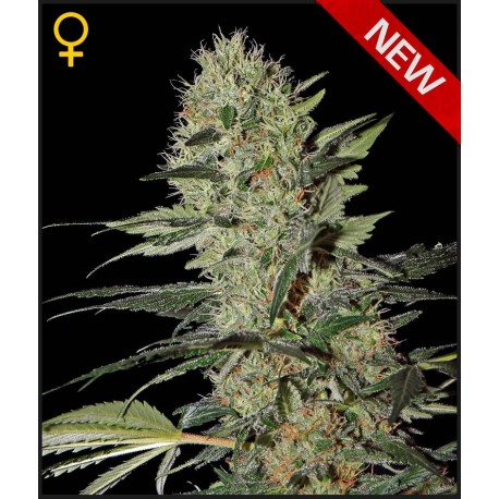 buy cannabis seeds Exodus Cheese Auto