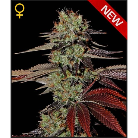 buy cannabis seeds Kings Kush Auto