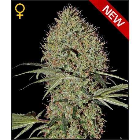 buy cannabis seeds Super Bud Auto