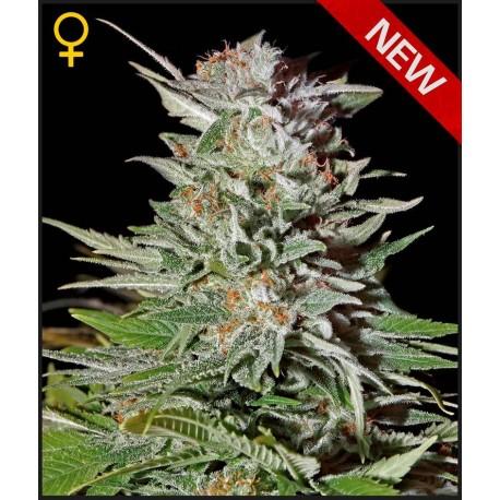 buy cannabis seeds Super Lemon Haze Auto