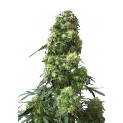 Early Skunk cannabis seeds