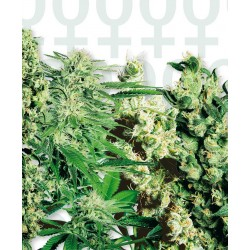 Feminized Mix cannabis seeds Sensi Seeds
