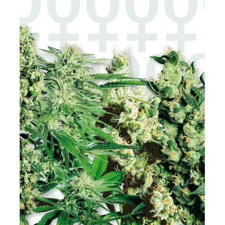 buy cannabis seeds Feminized Mix