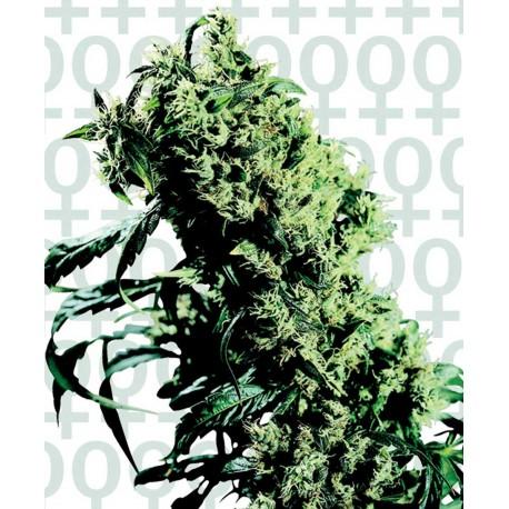 buy cannabis seeds NL#5 x Haze