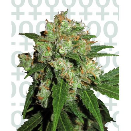 buy cannabis seeds Sensi Skunk