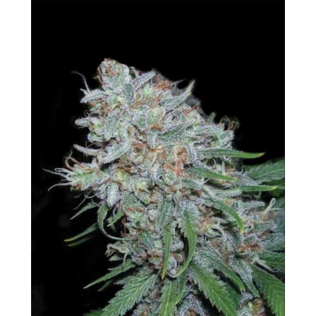 buy cannabis seeds Amnesia