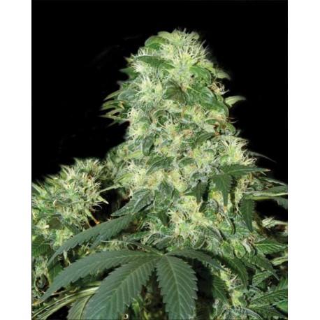 buy cannabis seeds White Widow