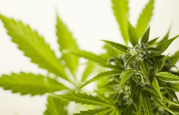 La Suède a la main mise sur le cannabis en provenance du Canada