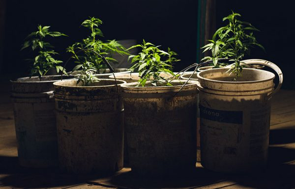 La germination des graines de cannabis