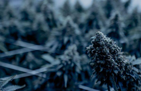 Le Sénat adopte un projet de loi agricole liée à la légalisation du chanvre