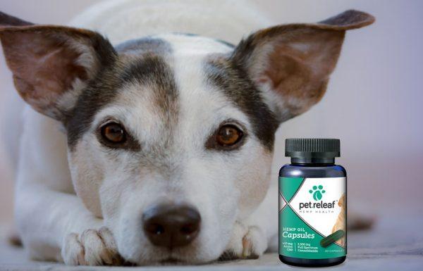 Une étude de l'Université Cornell révèle que le l'huile de chanvre est efficace pour les chiens souffrants de douleurs.