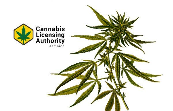 Jamaïque : 89 entreprises du cannabis ont postulé pour une licence