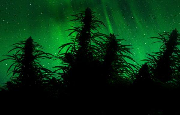L'Alaska approuve ses premiers producteurs et revendeurs de cannabis