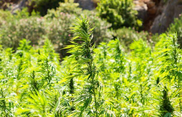 La Suisse envisage un programme d'essai de distribution légale de cannabis