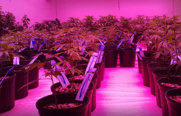 Les dispensaires de l'Alaska manquent de cannabis