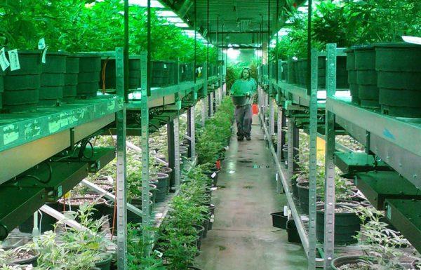 Nouvelle-Zélande : le producteur canadien Tilray exporte son cannabis médical