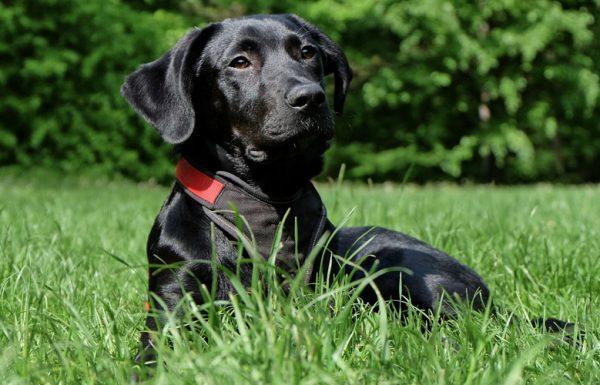De plus en plus de chiens positifs au cannabis