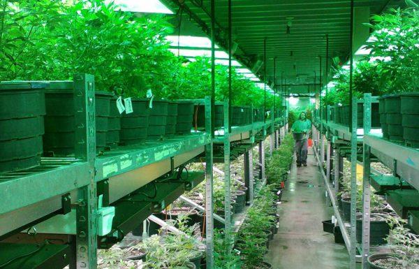 Oregon: le secteur de l'emploi de l'industrie du cannabis en croissance rapide
