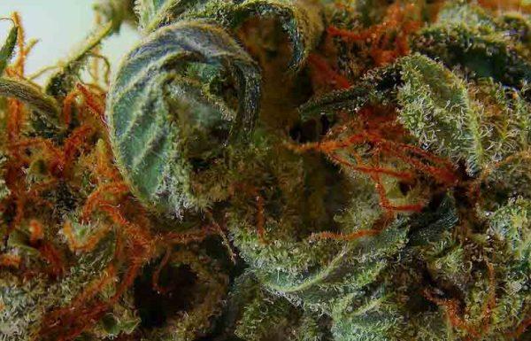 Étude: les lois sur le cannabis ne conduisent pas à une consommation accrue des adolescents