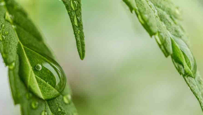 New York: dépôt de loi relatif à l'usage du cannabis médical