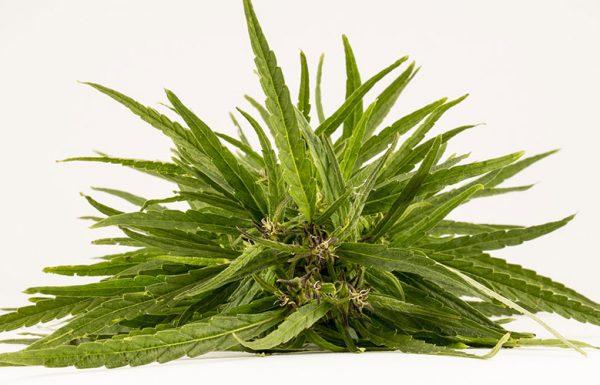Étude: le cannabis médical réduit l'intensité de la douleur liée aux migraines